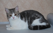 Шикарный кот скоттиш-страйт для вязки