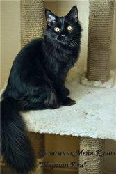 продаются котята породы Мейн Кун от титулованных родителей