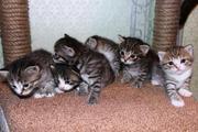 Шотладские котята,  скоттиш страйты