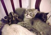 Дарю веселых котят от кошки-мышелова