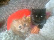 котята-персы