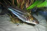 аквариумные рыбки - мистус тенгара