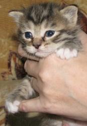 Предлагаем котят Курильского бобтейла