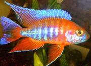 Аквариумные рыбки - Алунокара аурика
