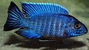Аквариумные рыбки - Алунокара стюарта гранта
