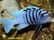 Аквариумные рыбки - Псевдотрофеус голубая зебра