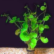 Аквариумные растения - гидрокотила белоголовая