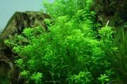 Аквариумные растения - микрантенум