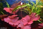 Аквариумные растения - нимфея тигровая