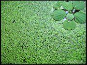 Аквариумные растения - ряска