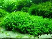 Аквариумные растения - химеантус куба