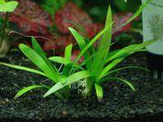 Аквариумные растения - японский стрелолист