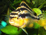 Аквариумные рыбки - меланохромис золотой ауратус