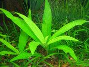 Аквариумные растения - гигрофила щитовидная