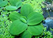 Аквариумные растения - пистия