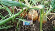 Ранний лук оптом с фермерского хозяйства
