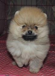 продам красивого  умного веселого померанского щенка