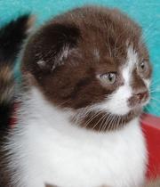 Шотладские котята,  скоттиш фолд