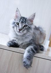 Котята мейн кун из профессионального питомника Mainemarie