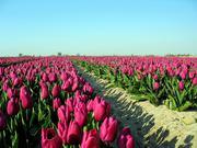тюльпаны оптом Казахстан
